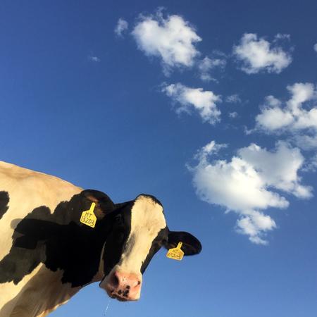 Vitiligo, koe, stippen