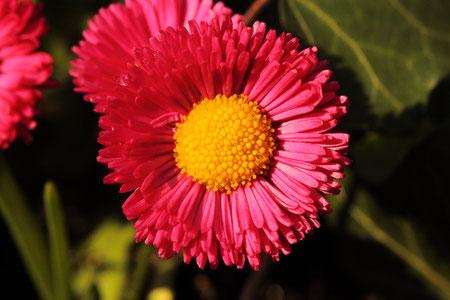 Nahaufnahme eines Gänseblümchen (Bellis)