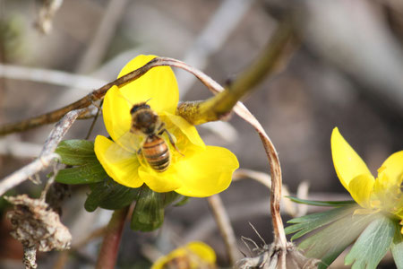 Die ersten Bienen im März 2012