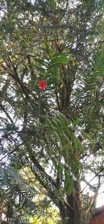 In den roten Fruchtkörpern der Eibe liegen die Samen geschützt. Sie sind giftig, ihre weiche Hülle nicht. Sie kann jedoch an Kinder gut als Warnung vor dem giftigen Inhalt vermittelt werden.