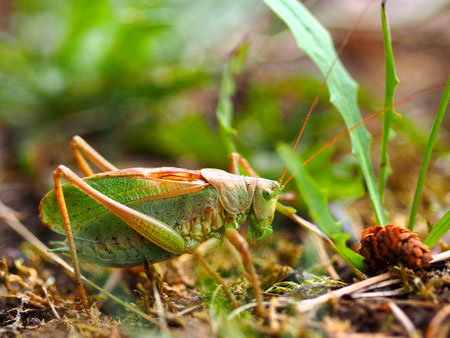 Das passende Männchen der Zwitscherschrecke