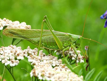 der Inbegriff der Heuschrecke: Die grüne Grasheuschrecke