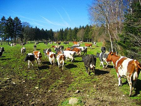 Bauernhofurlaub Eifel -Kuhherde