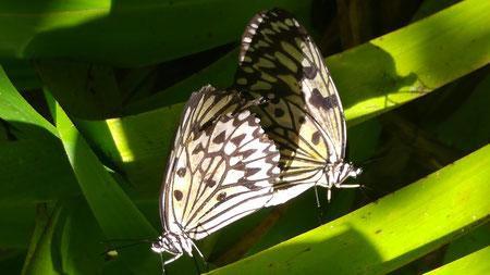 Zwei Schmetterlinge machen Liebe