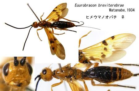 ヒメウマノオバチ Euurobracon breviterebrae Watanabe, 1934 female