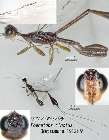 ケツノヤセバチ Foenatopus cinctus (Matsumura 1918) female