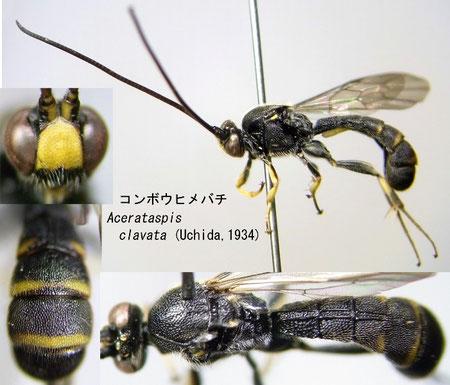 コンボウヒメバチ Acerataspis clavata (Uchida, 1934)