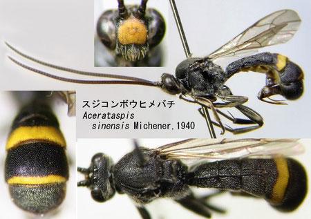 スジコンボウヒメバチ Acerataspis sinensis Michener, 1940