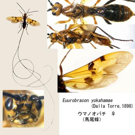ウマノオバチ Euurobracon yokahamae (Dalla Torre, 1898) female