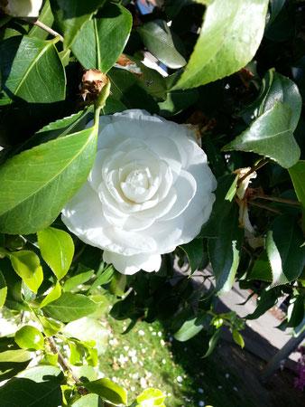 Locarno, Kamelienblüte