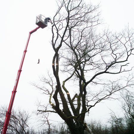 Professionelle Baumpflege mit Hubsteiger