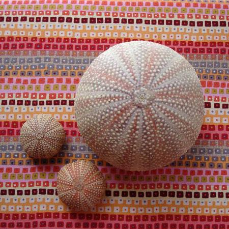 Norweigan sea urchins