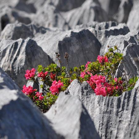 Alpenrosen im Schratten-Kalk