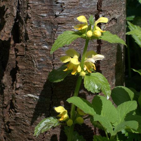 Taubnesselblüte wartet auf Hummel oder Biene