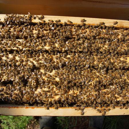 Jungvolk Ableger Buckfastbienen im Ablegerkasten (Foto: G. Grimm)
