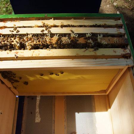 Ableger Buckfastbienen in Dadant Beute  (Foto: G. Grimm)