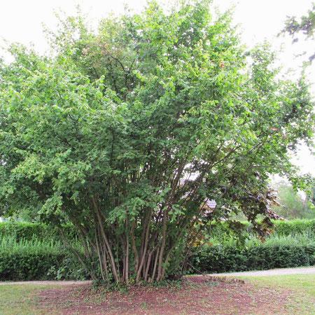 Plante ligneuse basitone : touffe dense de noisetier