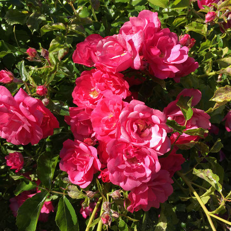 Rosier decorosier 'Emera' : fleurit sur le bois de l'année