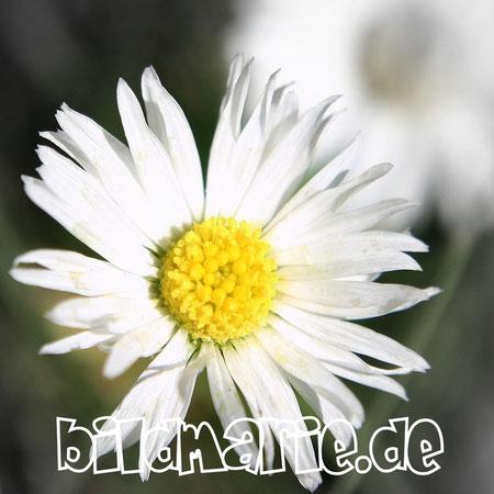 441.p.-gänseblume swf