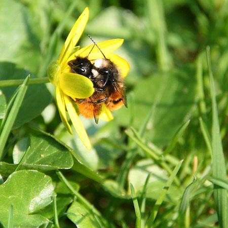 Gehörnte Mauerbienen – Osmia cornuta bei der Kopulation