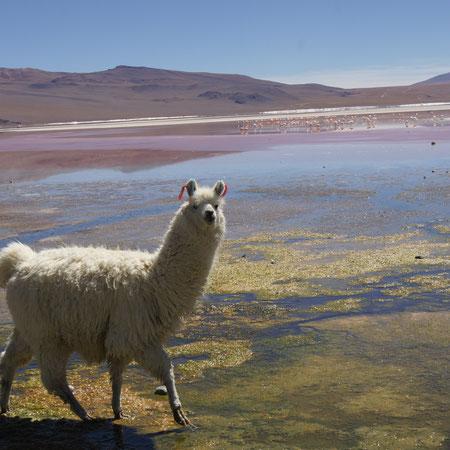 Lama an der Laguna Colorada mit hunderten Flamingos im Hochland bei Uyuni