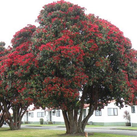 für die Maoris Pohutukawa, für die Neuseeländer Weihnachtsbaum, weil er auf jeder Spitze einen roten Blumenball hat