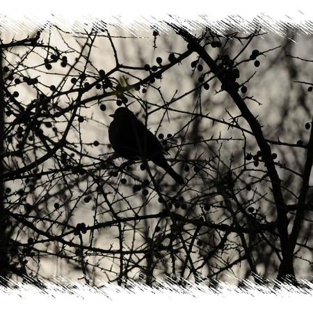 Dornenvogel