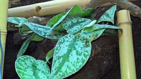 Eine Zuchtform der Efeutute (Scindapsus pictus), die ich in die Rückwand gepflanzt habe. Von dort aus soll sie die Rückwand bewachsen.