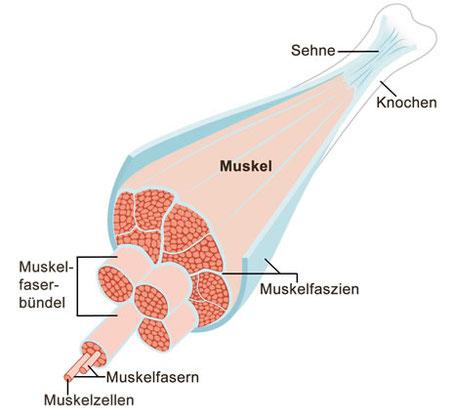 Muskeln, Mukelschmerzen, Muskelkater,