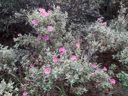 Pink Cistus