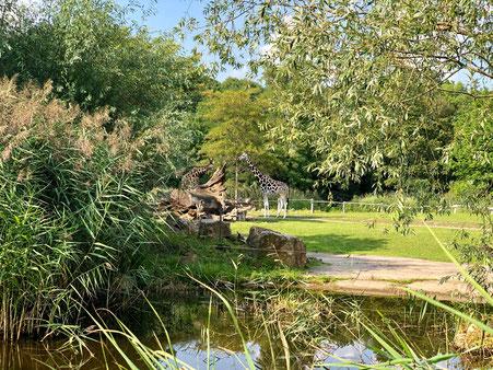 Giraffen auf der Afrika-Savanne des Zoo Leipzig