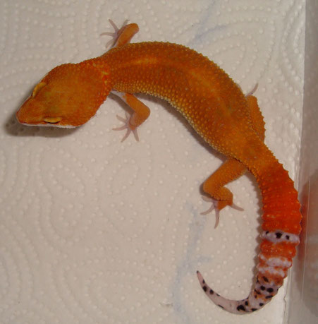 Electric Tangerine female