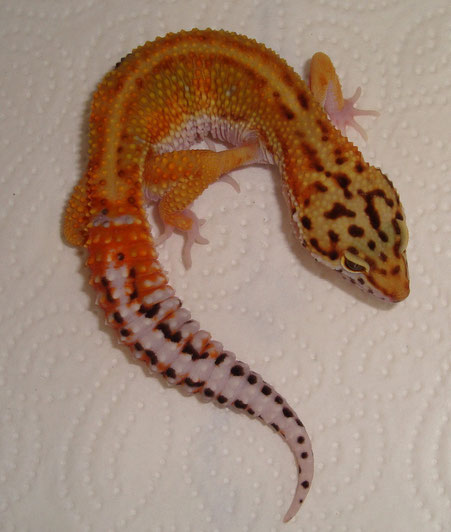 Red Stripe het. Tremper Albino female