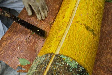 黄檗の採取