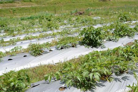 大和当帰の圃場への定植作業_畑