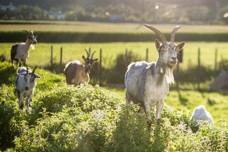 Ziegen stehen auf grünem Hügel und schauen neugierig