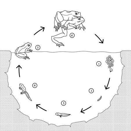 Metamorphose Frosch © Michael Stünzi