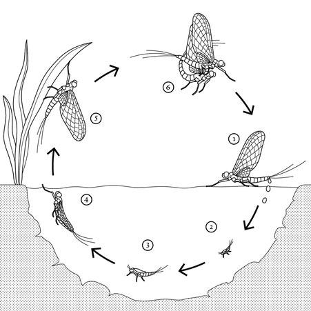Metamorphose Libelle © Michael Stünzi