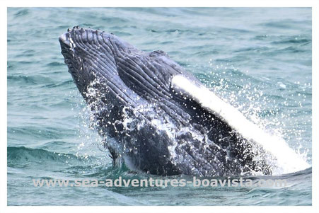 boa vista, boa vista tours, sea adventures boa vista, humpback whales, whale watching, whale trips, cabo verde, cape verde, kapverden, sailing, walbeobachtung, buckelwale kapverden