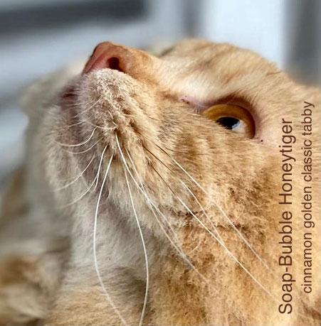 BLH, Soap-Bubble Honeytiger, Augenwimpern am Oberlid in Cinnamon, in der Farbe der Tabbyzeichnung, Foto: Paula Brunner