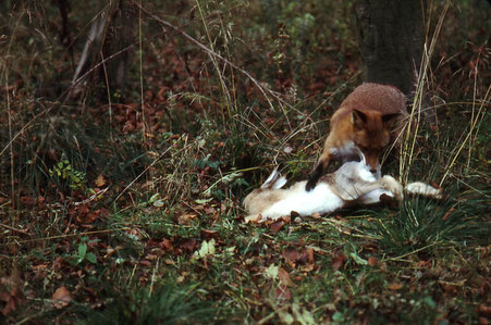 Fuchs mit Hase
