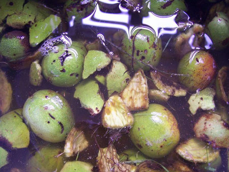 Green walnut husks soaking in water.