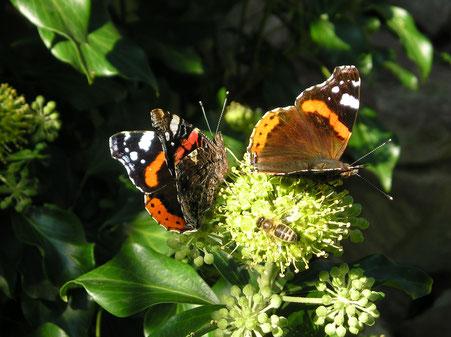 Zwei Admiral-Falter und eine Honigbiene saugen Nektar an einem Efeu-Blütenstand.