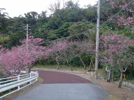 八重岳 頂上付近の桜開花状況