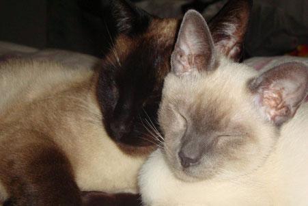 Thaikatzen, Bildquelle: © Cattery Siamcats4you