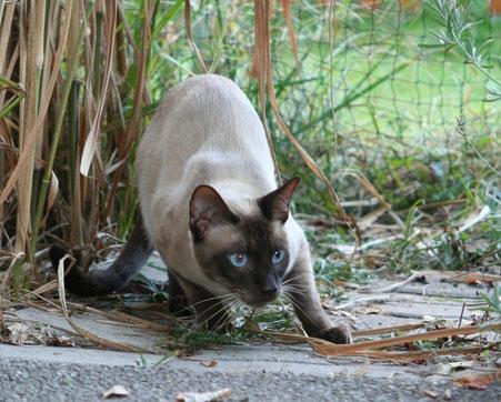 Thaikatze, Bildquelle:  © Cattery Thaikatzen-vom-blauen-halbmond