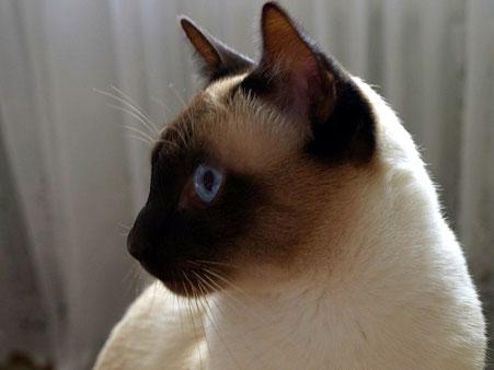 Thaikatze sealpoint, Bildquelle:  © Cattery Siamcats4you