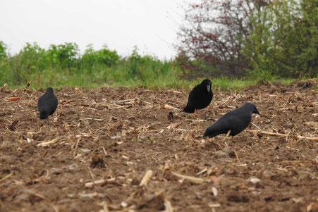 Lockkrähen für den nordische Krähenfang
