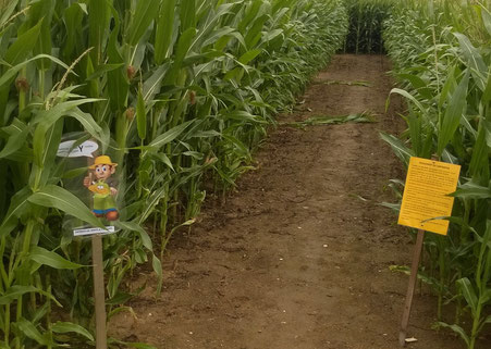 labyrinthe de maïs La cueillette de cappy - Cappy - Somme - Picardie - Vallée de la Somme - Pays du Coquelicot- fruits et legumes de saison - producteur