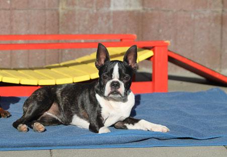 boston terrier, welpen, hunde, zucht, züchter, hamburg, niedersachsen